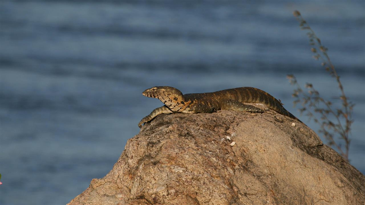 Malawi - Majete National Park - Rock Monitor